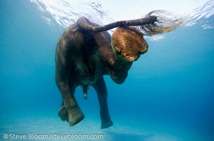 Steve Bloom Elephants