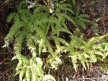 Sticherus lobatus httpsuploadwikimediaorgwikipediacommonsthu