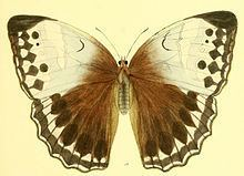 Stichophthalma camadeva httpsuploadwikimediaorgwikipediacommonsthu