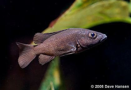 Stomatepia Stomatepia pindu of Barombi Mbo Cameroon pt1
