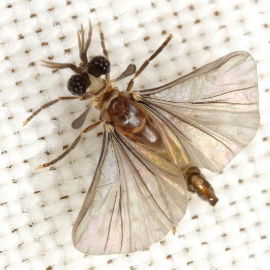 Strepsiptera FieldZoologyUVM Strepsiptera the twisted wing parasite