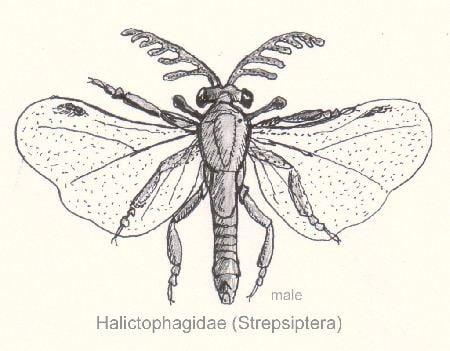 Strepsiptera httpsuploadwikimediaorgwikipediacommons77