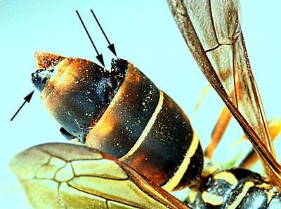 Strepsiptera Strepsiptera Stylops Twistedwinged parasites Discover Life