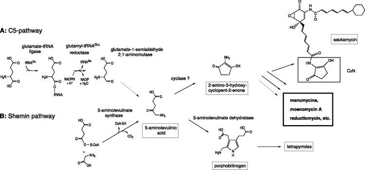 Streptomyces nodosus Occurrence of Two 5Aminolevulinate Biosynthetic Pathways in