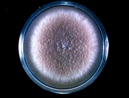 Streptomyces nodosus Introduction to mycology at University of Oklahoma Health Sciences