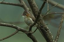 Striated yuhina httpsuploadwikimediaorgwikipediacommonsthu