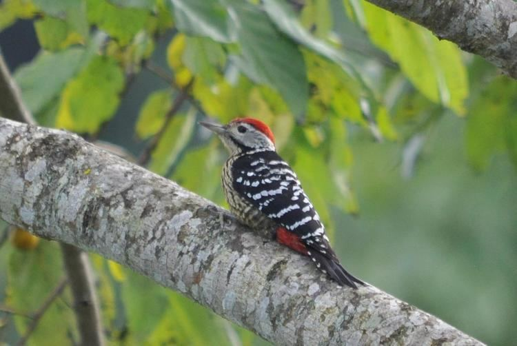 Stripe-breasted woodpecker Stripebreasted Woodpecker Dendrocopos atratus An adult male