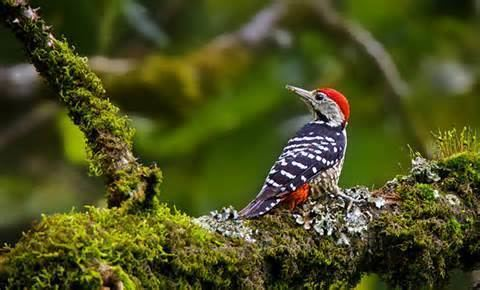 Stripe-breasted woodpecker More on Dendrocopos atratus Stripebreasted Woodpecker