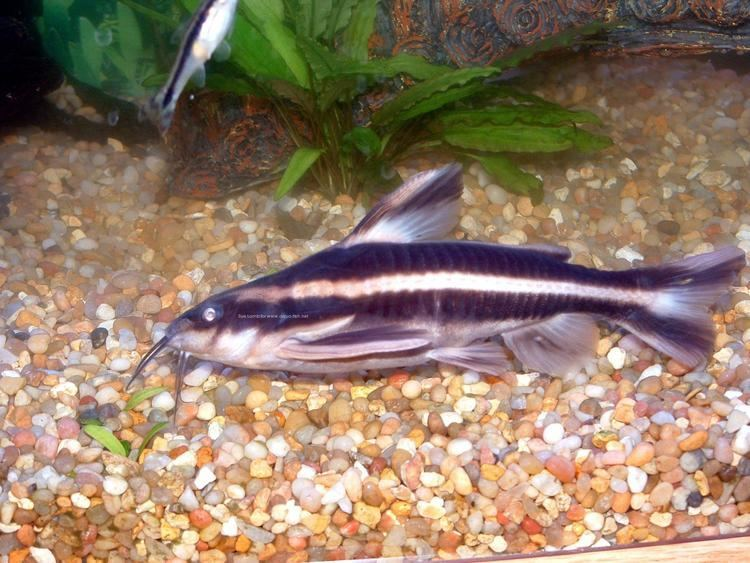 Striped Raphael catfish A forum and guide on keeping Striped raphael catfish Platydoras