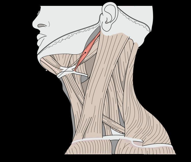 Stylohyoid muscle