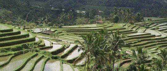 Subak (irrigation) Subak is Bali Irrigation System Gusti Bali Tours