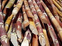 Sugarcane httpsuploadwikimediaorgwikipediacommonsthu
