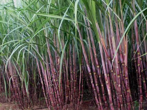 Sugarcane Agriculture Crop Production Sugarcane