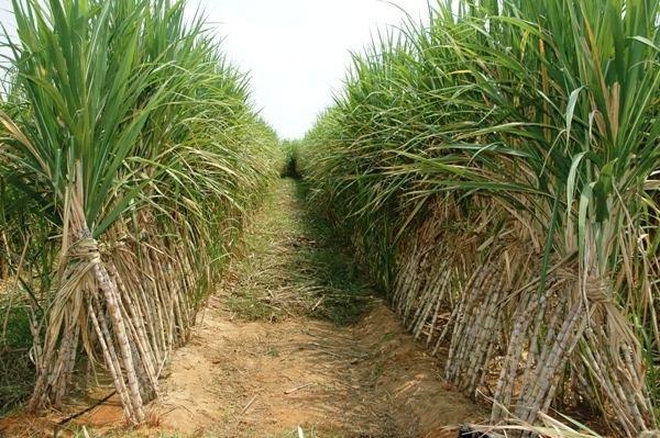 Sugarcane Sugarcane Cultivation Information Guide AsiaFarmingcom