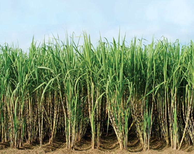 Sugarcane Brand New Spin Sugarcane uppercrustindia