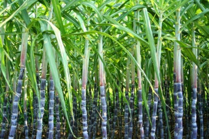 Sugarcane On Sugarcane Morals Swami39s Indology Blog