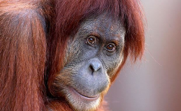 Sumatran orangutan Sumatran Orangutan Zoos Victoria