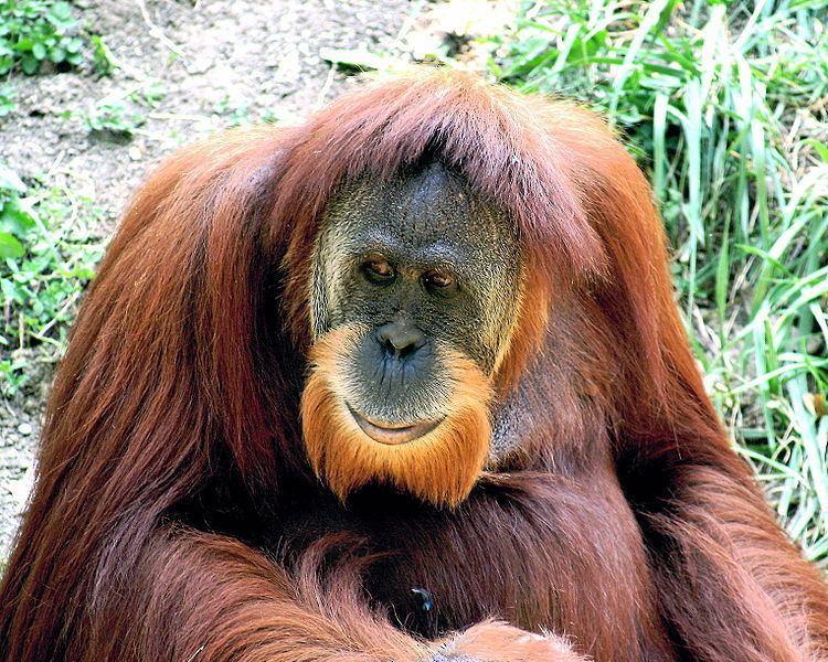 Sumatran orangutan Sumatran Orangutan Pongo Abelii Animals AZ Animals