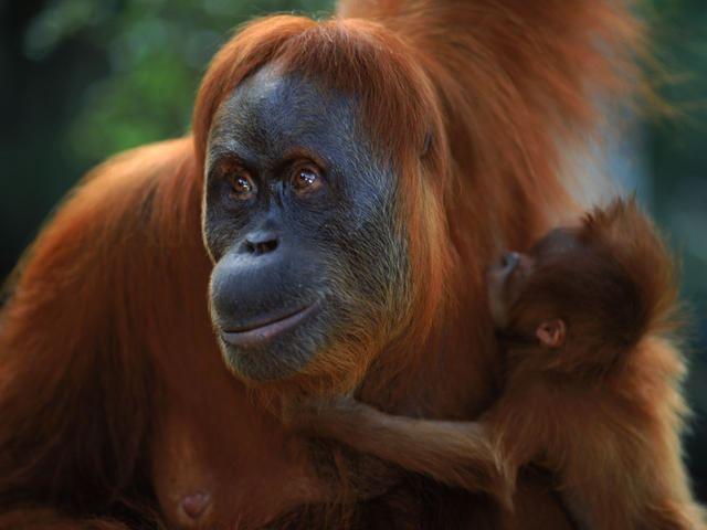 Sumatran orangutan httpsc402277sslcf1rackcdncomphotos1365im