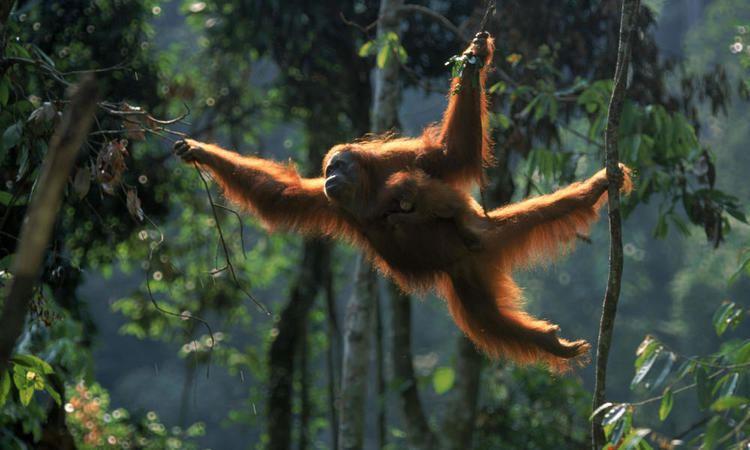 Sumatran orangutan Sumatran Orangutan Species WWF