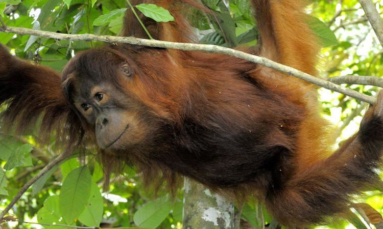 Sumatran orangutan Sumatran Orangutan Photos WWF