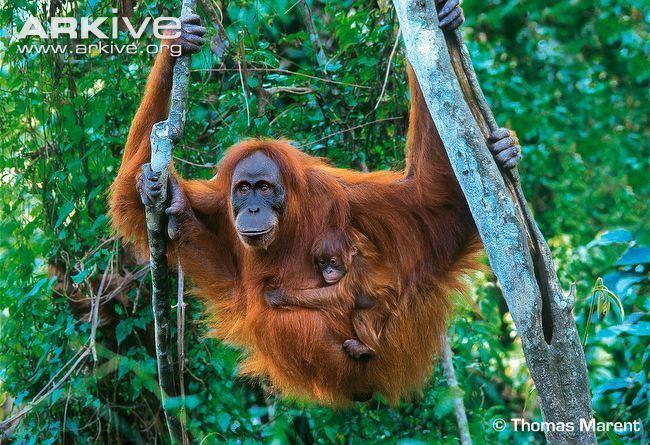 Sumatran orangutan Sumatran orangutan photo Pongo abelii G137163 ARKive