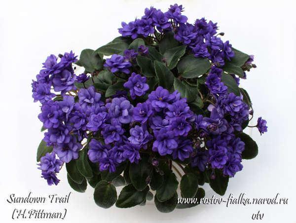 Sundown Trail Sundown Trail H Pittman Kvetsunk Pinterest Violets