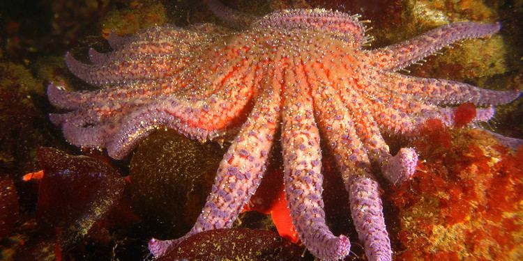 Sunflower seastar 17 images about Star Fish on Pinterest Tide pools The sunflower