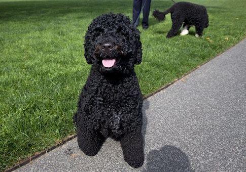 Sunny (dog) Obama Dog Pooping in White House
