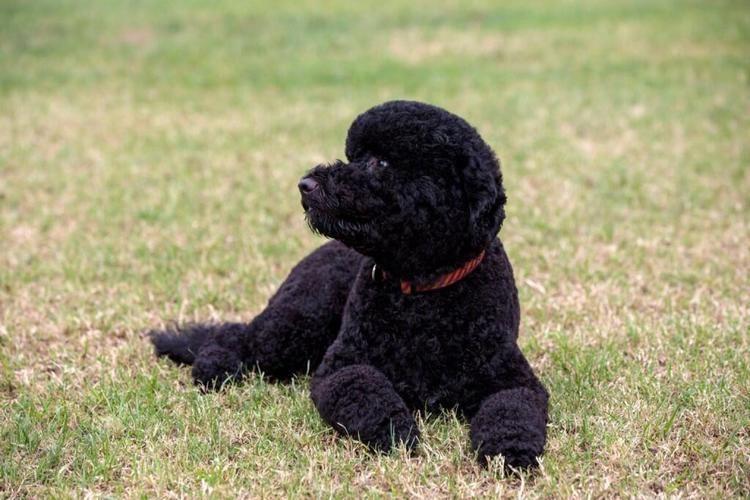 Sunny (dog) Obama Family Welcomes New Dog Sunny The Huffington Post