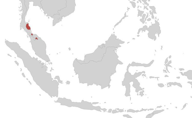 Supachai's caecilian