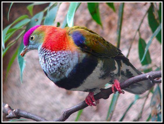 Superb fruit dove The Superb fruit dove Ptilinopus superbus also known as the