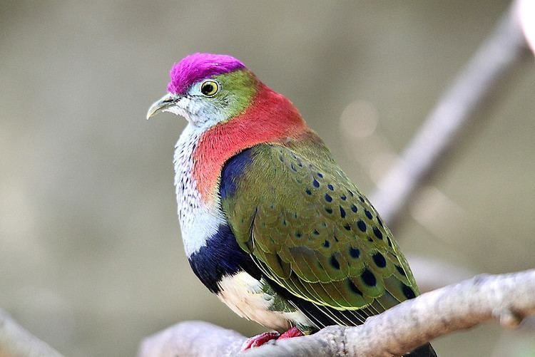 Superb fruit dove Superb Fruitdovequot Posters by EnviroKey Redbubble
