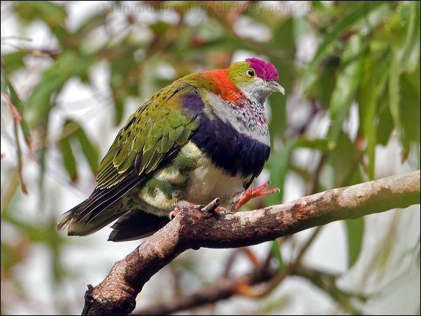 Superb fruit dove wwwbirdwaycomaucolumbidaesuperbfruitdoveso