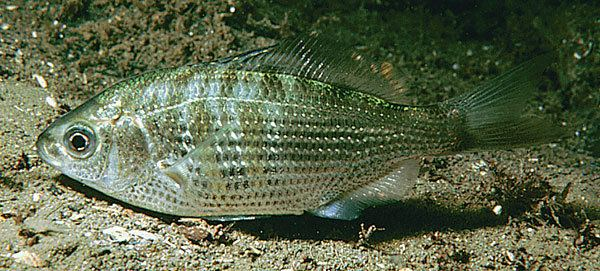 Surfperch Aquarium of the Pacific Online Learning Center Shiner Surfperch