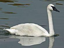Swan httpsuploadwikimediaorgwikipediacommonsthu