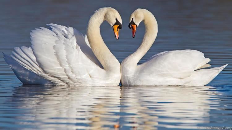 Swan BBC Earth The truth about swans