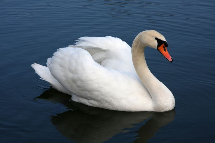 Swan Swan hobbyDB