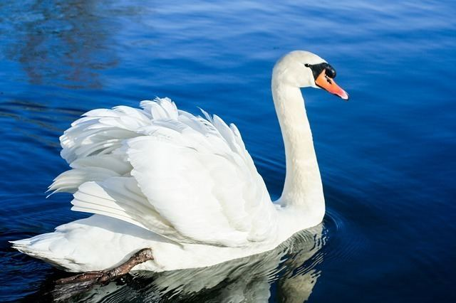 Swan Swan Facts for Kids Swans For Kids Cool Kid Facts