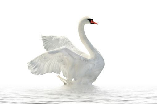 Swan swan15jpg