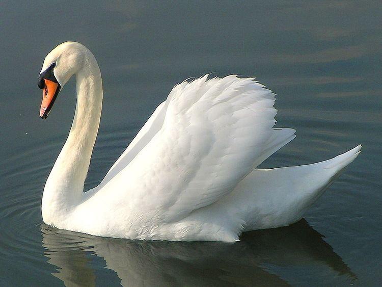 Swan swan18jpg