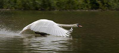 Swan Swan Wikipedia