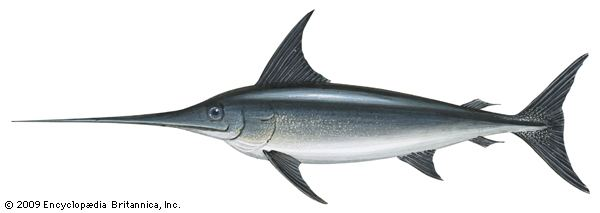Swordfish swordfish fish Britannicacom