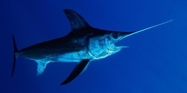 Swordfish ichefbbcicoukwwfeatureswmlive1280640image
