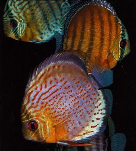Symphysodon tarzoo Symphysodon tarzoo tropical fish Pinterest Articles