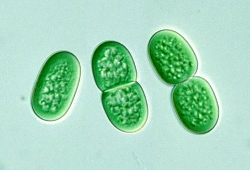 Synechococcus, a unicellular cyanobacterium that is very widespread in the marine environment.