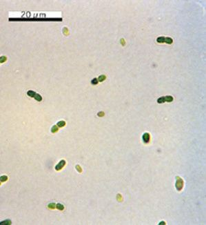 A group of Synechococcus.