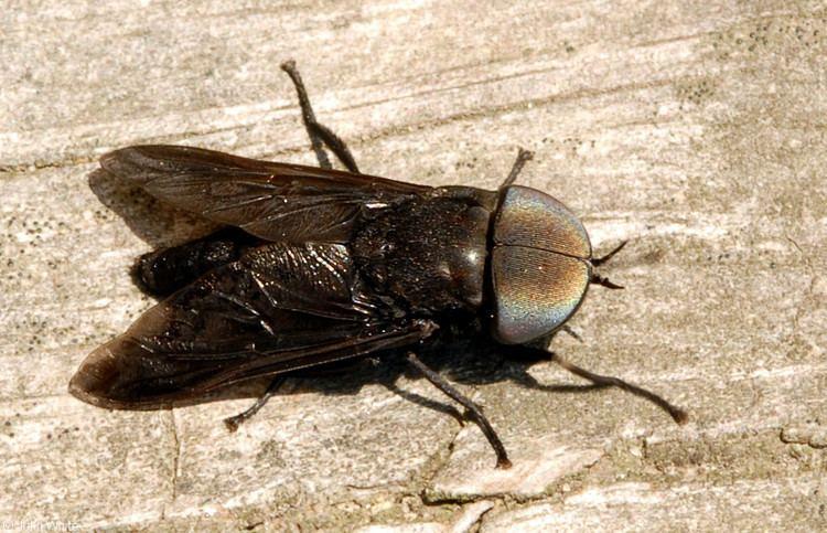 Tabanus Tabanus atratus Black horse fly