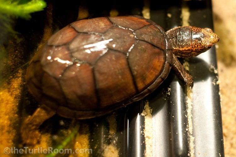 Tabasco mud turtle Species Galleries theTurtleRoomtheTurtleRoom