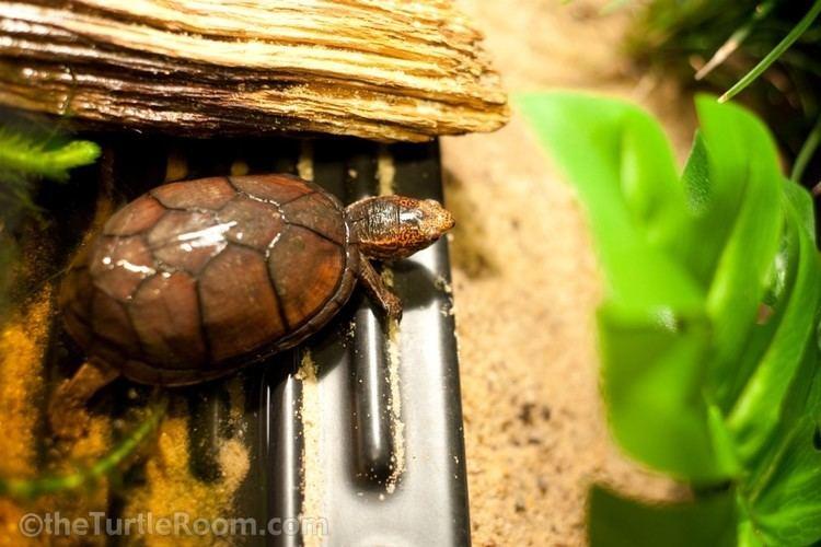 Tabasco mud turtle Kinosternon acutum Gallery theTurtleRoomtheTurtleRoom